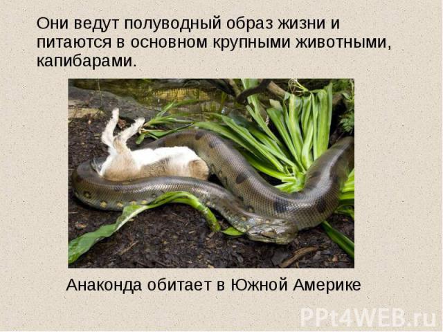 Они ведут полуводный образ жизни и питаются в основном крупными животными, капибарами. Анаконда обитает в Южной Америке