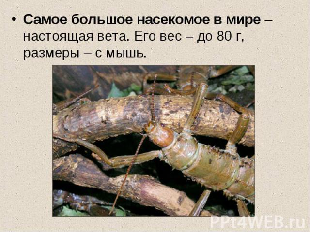 Самое большое насекомое в мире – настоящая вета. Его вес – до 80 г, размеры – с мышь.