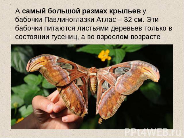 А самый большой размах крыльев у бабочки Павлиноглазки Атлас – 32 см. Эти бабочки питаются листьями деревьев только в состоянии гусениц, а во взрослом возрасте только размножаются.