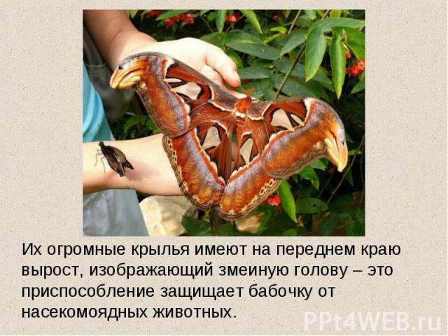 Их огромные крылья имеют на переднем краю вырост, изображающий змеиную голову – это приспособление защищает бабочку от насекомоядных животных.