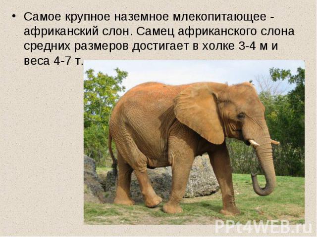 Самое крупное наземное млекопитающее - африканский слон. Самец африканского слона средних размеров достигает в холке 3-4 м и веса 4-7 т.