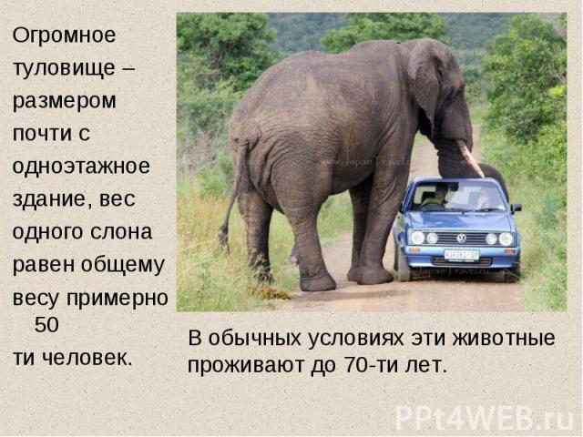 Огромное туловище – размером почти с одноэтажное здание, вес одного слона равен общему весу примерно 50 ти человек. В обычных условиях эти животные проживают до 70-ти лет.