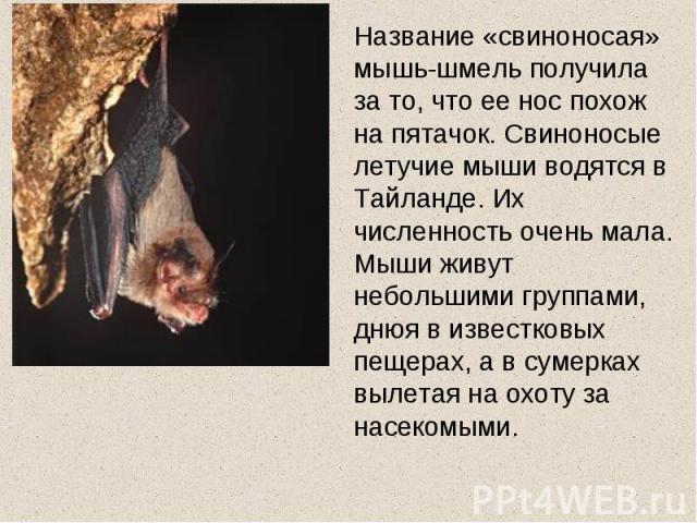 Название «свиноносая» мышь-шмель получила за то, что ее нос похож на пятачок. Свиноносые летучие мыши водятся в Тайланде. Их численность очень мала. Мыши живут небольшими группами, днюя в известковых пещерах, а в сумерках вылетая на охоту за насекомыми.