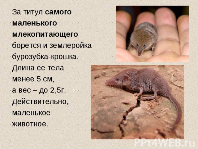За титул самого маленького млекопитающего борется и землеройка бурозубка-крошка. Длина ее тела менее 5 см, а вес – до 2,5г. Действительно, маленькое животное.