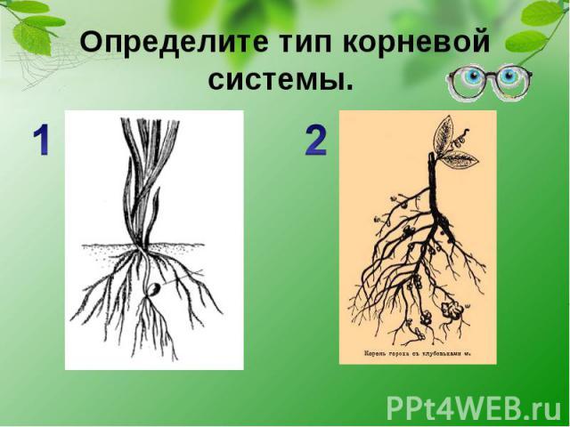 Определите тип корневой системы.