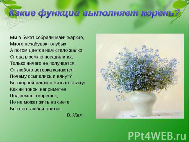 Какие функции выполняет корень? Мы в букет собрали маки жаркие, Много незабудок голубых, А потом цветов нам стало жалко, Снова в землю посадили их. Только ничего не получается: От любого ветерка качаются. Почему осыпались и вянут? Без корней расти и…
