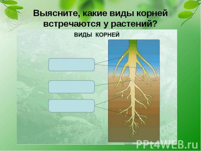 Выясните, какие виды корней встречаются у растений?