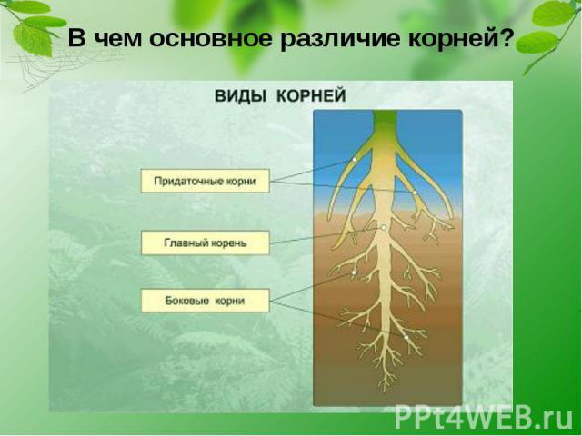В чем основное различие корней?