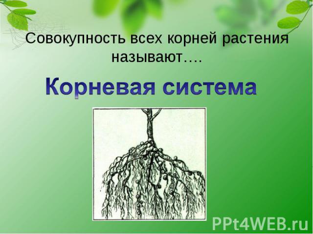 Совокупность всех корней растения называют…. Корневая система