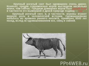 Крупный рогатый скот был одомашнен очень давно. Конечно, предки современных коро
