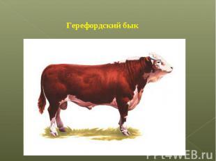 Герефордский бык