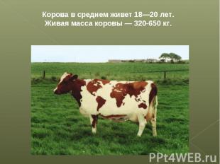 Корова в среднем живет 18—20 лет. Живая масса коровы — 320-650 кг.