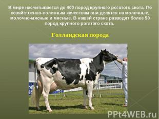 В мире насчитывается до 400 пород крупного рогатого скота. По хозяйственно-полез