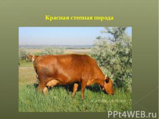 Красная степная порода
