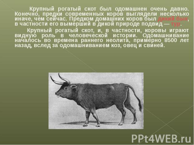 Крупный рогатый скот был одомашнен очень давно. Конечно, предки современных коров выглядели несколько иначе, чем сейчас. Предком домашних коров был дикий бык, в частности его вымерший в дикой природе подвид— тур. Крупный рогатый скот, и, в частност…