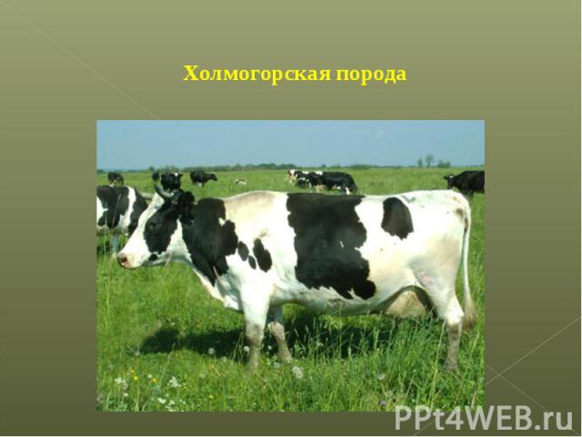 Холмогорская порода