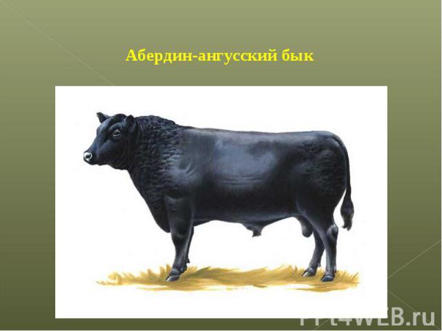 Абердин-ангусский бык