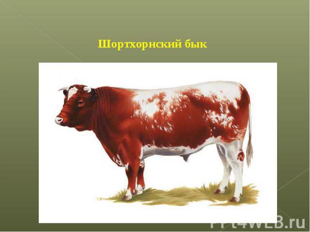Шортхорнский бык