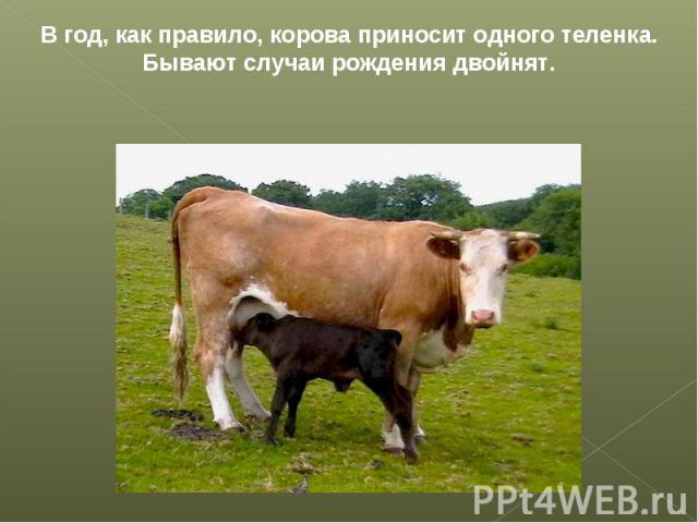 В год, как правило, корова приносит одного теленка. Бывают случаи рождения двойнят.