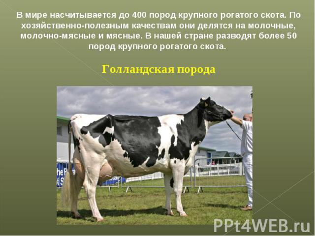 В мире насчитывается до 400 пород крупного рогатого скота. По хозяйственно-полезным качествам они делятся на молочные, молочно-мясные и мясные. В нашей стране разводят более 50 пород крупного рогатого скота. Голландская порода