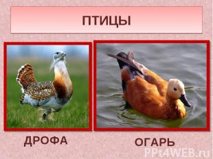 ПТИЦЫДРОФА ОГАРЬ