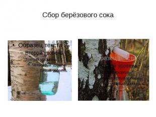 Сбор берёзового сока