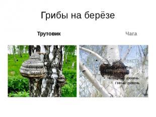 Грибы на берёзе Трутовик