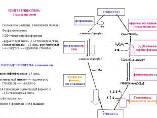 «фермент ветвления» и гликогенсинтаза фосфоглюкомутаза Гексокиназа, Глюкокиназа