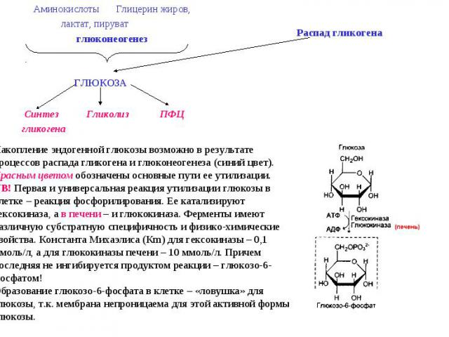 Накопление эндогенной глюкозы возможно в результате процессов распада гликогена и глюконеогенеза (синий цвет). Красным цветом обозначены основные пути ее утилизации. NB! Первая и универсальная реакция утилизации глюкозы в клетке – реакция фосфорилир…