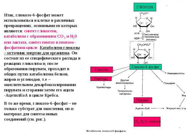 Итак, глюкозо-6-фосфат может использоваться в клетке в различных превращениях, основными из которых являются: синтез гликогена, катаболизм с образованием СО 2 и Н20 или лактата, синтез пентоз в пентозо-фосфатном цикле. Катаболизм глюкозы – источник …