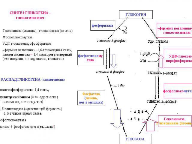 «фермент ветвления» и гликогенсинтаза фосфоглюкомутаза Гексокиназа, Глюкокиназа (печень) ГЛИКОГЕН ГЛЮКОЗА Фосфатаза (печень, нет в мышцах) фосфоглюкому таза фосфорилаза УДФ-глюкозо пирофосфорилаза Гексокиназа (мышцы), глюкокиназа (печень) Фосфоглюко…