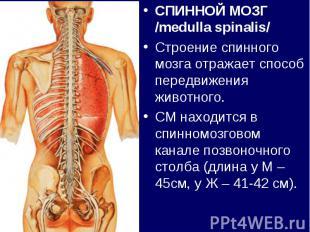СПИННОЙ МОЗГ /medulla spinalis/СПИННОЙ МОЗГ /medulla spinalis/Строение спинного