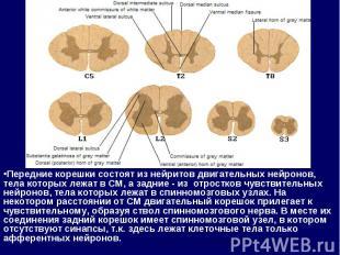 Передние корешки состоят из нейритов двигательных нейронов, тела которых лежат в