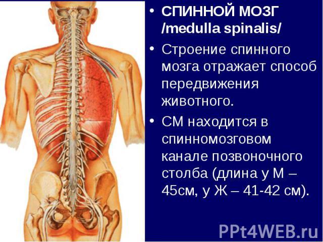 СПИННОЙ МОЗГ /medulla spinalis/СПИННОЙ МОЗГ /medulla spinalis/Строение спинного мозга отражает способ передвижения животного.СМ находится в спинномозговом канале позвоночного столба (длина у М – 45см, у Ж – 41-42 см).