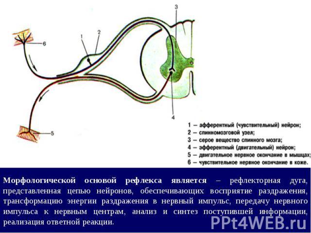 Морфологической основой рефлекса является – рефлекторная дуга, представленная цепью нейронов, обеспечивающих восприятие раздражения, трансформацию энергии раздражения в нервный импульс, передачу нервного импульса к нервным центрам, анализ и синтез п…