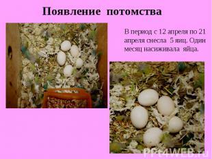 Появление потомстваВ период с 12 апреля по 21 апреля снесла 5 яиц. Один месяц на