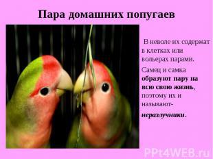 Пара домашних попугаевВ неволе их содержат в клетках или вольерах парами. Самец