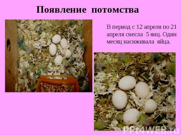 Появление потомстваВ период с 12 апреля по 21 апреля снесла 5 яиц. Один месяц насиживала яйца.