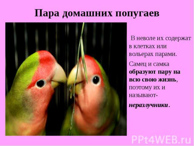Пара домашних попугаевВ неволе их содержат в клетках или вольерах парами. Самец и самка образуют пару на всю свою жизнь, поэтому их и называют- неразлучники.