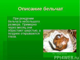 Описание бельчатПри рождении бельчата небольшого размера. Примерно через месяц о