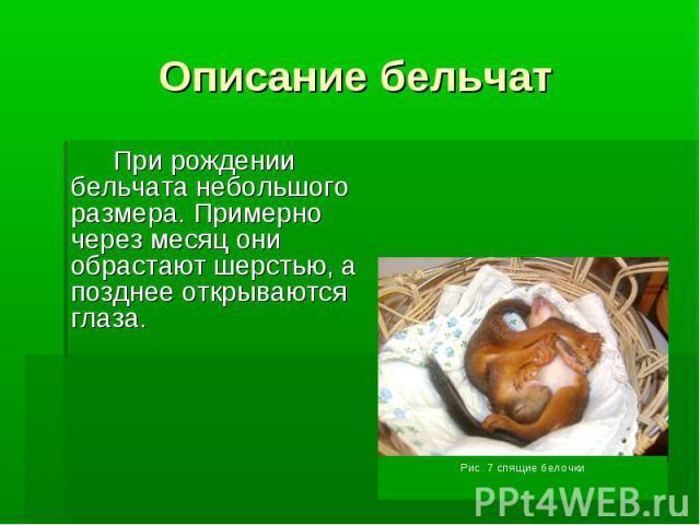 Описание бельчатПри рождении бельчата небольшого размера. Примерно через месяц они обрастают шерстью, а позднее открываются глаза.