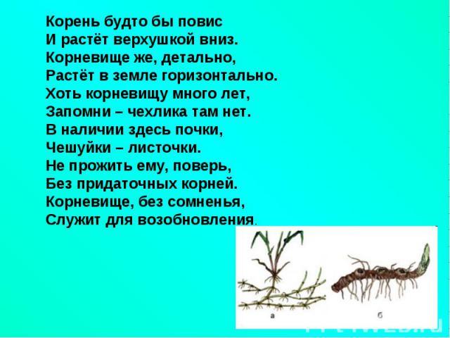Корень будто бы повисИ растёт верхушкой вниз.Корневище же, детально, Растёт в земле горизонтально.Хоть корневищу много лет,Запомни – чехлика там нет.В наличии здесь почки,Чешуйки – листочки.Не прожить ему, поверь,Без придаточных корней.Корневище, бе…