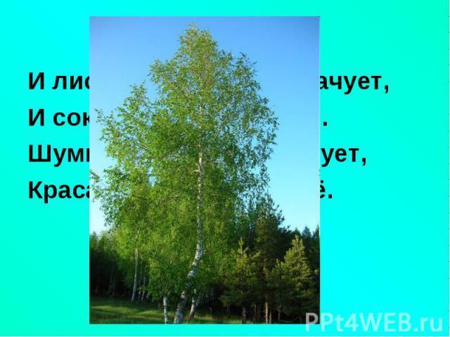 И лист и почки - всё врачует,И лист и почки - всё врачует,И сок - целебное сырьё.Шумит от ветра, если дует,Краса России - ствол её.