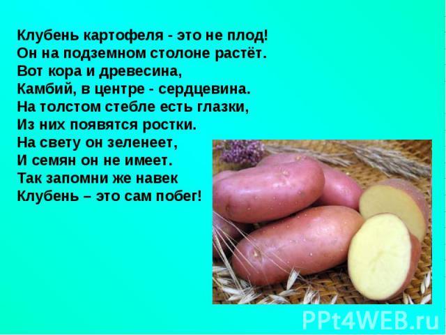 Клубень картофеля - это не плод!Он на подземном столоне растёт.Вот кора и древесина, Камбий, в центре - сердцевина. На толстом стебле есть глазки,Из них появятся ростки.На свету он зеленеет,И семян он не имеет.Так запомни же навекКлубень – это сам побег!