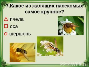 7.Какое из жалящих насекомых самое крупное? пчела оса шершень