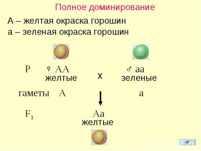 Полное доминирование A – желтая окраска горошин a – зеленая окраска горошин P ♀ AA ♂ aa желтые зеленые гаметы A a F1 Aa желтые x