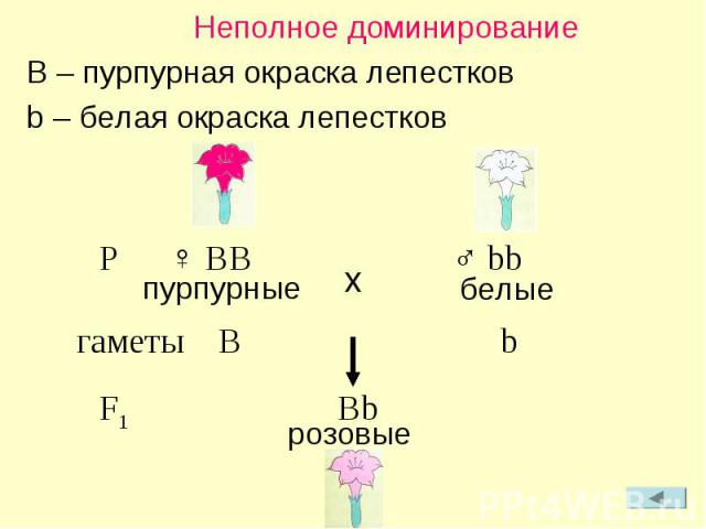 Неполное доминирование B – пурпурная окраска лепестков b – белая окраска лепестков P ♀ BB ♂ bb пурпурные белые гаметы B b F1 Bb розовые x