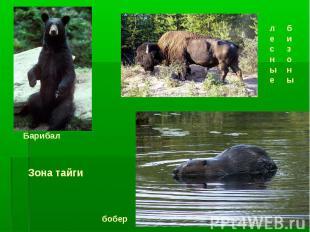 Барибал лесные бизоны бобер Зона тайги