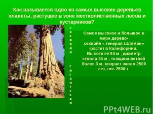 Как называется одно из самых высоких деревьев планеты, растущее в зоне жестколис
