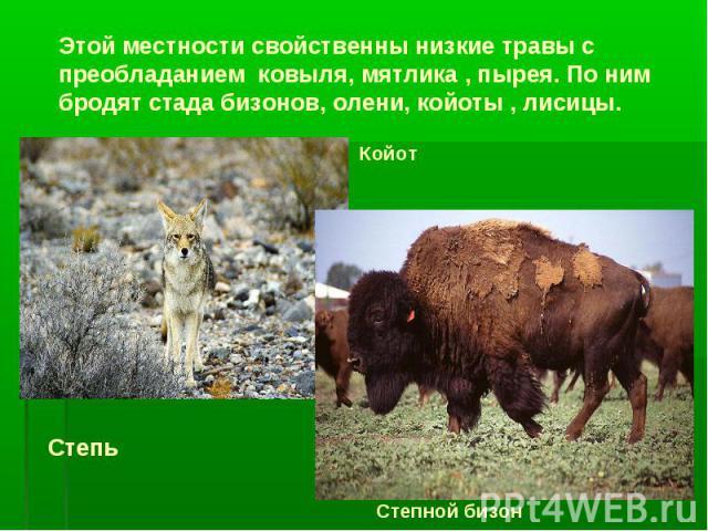 Этой местности свойственны низкие травы с преобладанием ковыля, мятлика , пырея. По ним бродят стада бизонов, олени, койоты , лисицы. Койот Степной бизон Степь